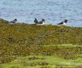 Instabillie-Places-Skaill-Oystercatchers